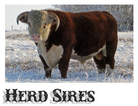 Purebred Hereford Herd Sires