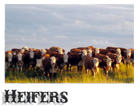 Purebred Hereford Heifers
