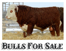 Purebred Hereford Bulls for Sale